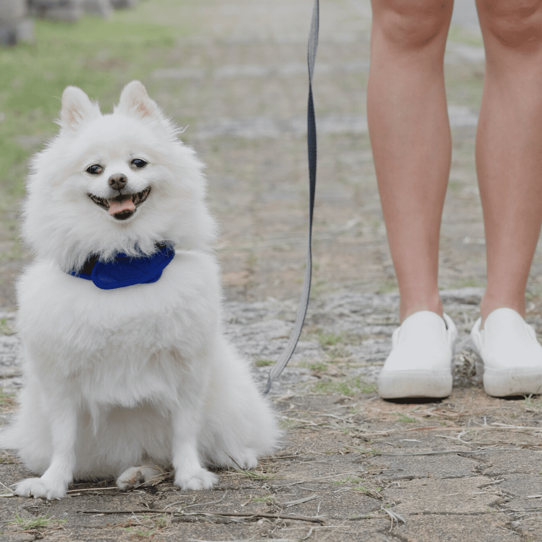 A white fluffy dogs sits on leash with its owner.